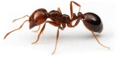 Fire_Ant