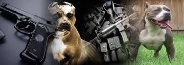 pitbulls_guns